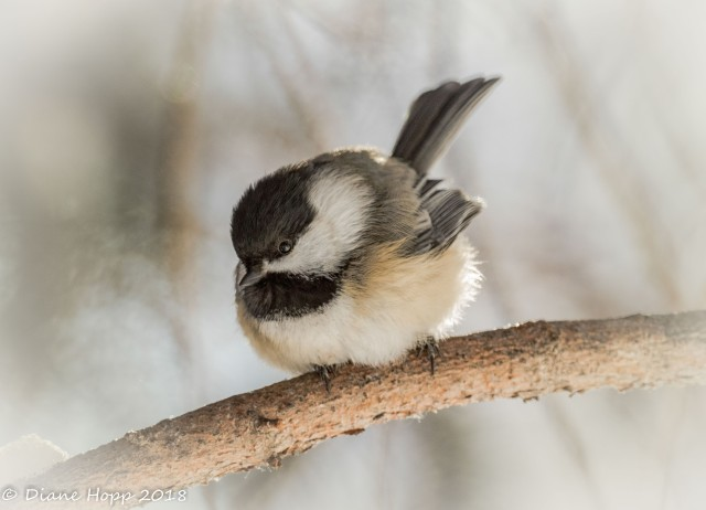Blackcapped chickadee - D Hopp - Jan 2018