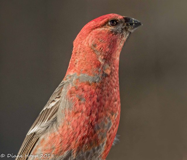 Male Pine Grosbeak - DHopp - Jan 18