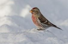Male RedPoll2 -DHopp - Jan 18.