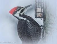 Pileated Woodpecker Female - D Hopp - Jan 2018
