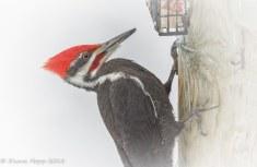 Pileated Woodpecker Male - D Hopp- Jan 2018