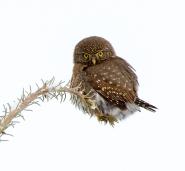 Northern Pygmy Owl - ©Donna Nesjan