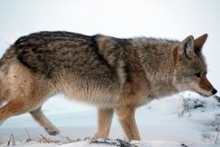 January Coyote - ©Doug Boyce