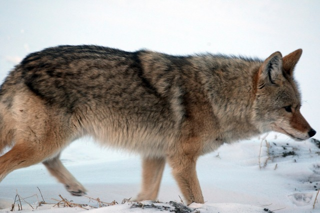 January Coyote - ©Doug Boyce