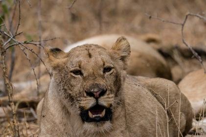 Lioness at Tshukudu, Africa Safari 2017
