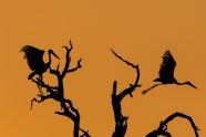 Kruager sunset sillouette, Africa Safari 2017