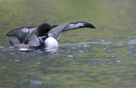 Loon Display - ©Brenda Harvey-Jones