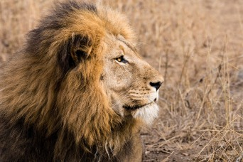 Amakhosi, a King's Pride, male lion at Amakhosi Safari Lodge, Kwa-Zulu Natal, South Africa.