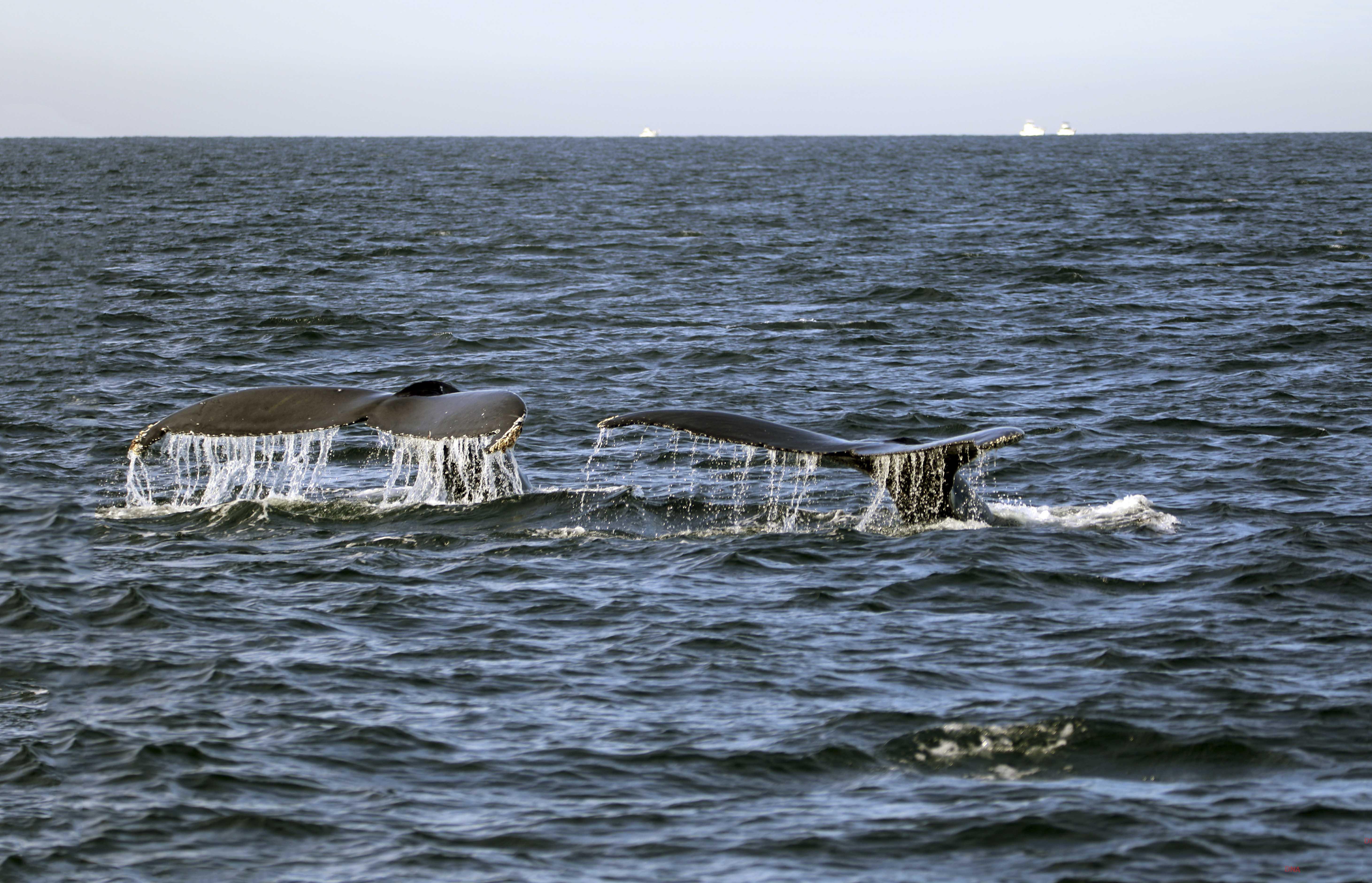 Whale Tails - ©Doug Boyce
