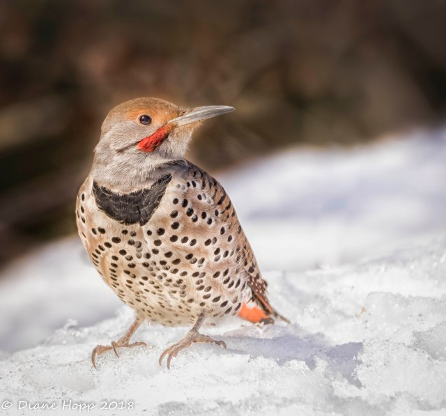 PG Apr - Northern Flicker - Dhopp -Mar 2018-