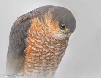 PG Apr - Sharp-Shinned Hawk - Dhopp - Mar 2018-