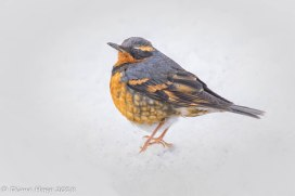 PG Apr - Varied Thrush - Dhopp - Mar 2018-