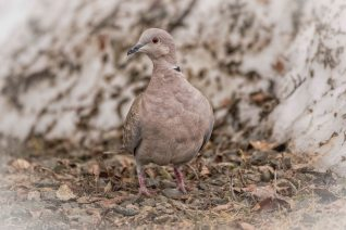 Bridge Lake Photo Group - Eurasian Collared Dove - DM Hopp - May 2018-