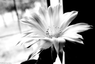 Cactus Flower - Alamaz Durand