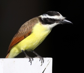 Great Kiskadee - Doug Boyce