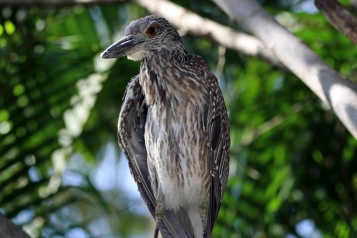 Juvenile Black Crowned Night Heron - Doug Boyce