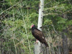 Scavenger #38 - Turkey Vulture - Kevin Haggkvist