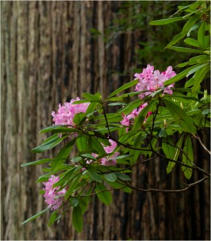 Rhododendron and Redwood, Del Norte Coast Redwoods State Park - Derek Chambers