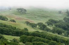 Oaks, Grass and Mist, Bald Hills, CA - Derek Chambers