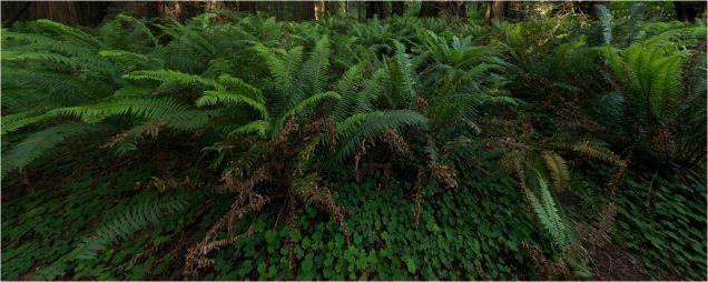 Sword Ferns, Jedediah Smith Redwoods State Park, CA - Derek Chambers