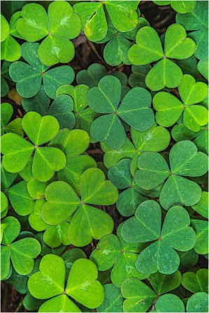 Shamrocks - Larry Citra