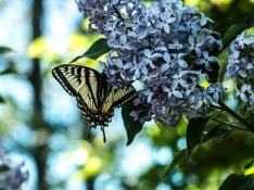 butterfly and lilac - Marilyn Nemiec