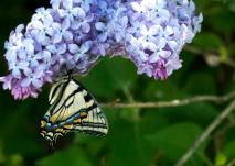 butterfly & lilac - Marilyn Nemiec