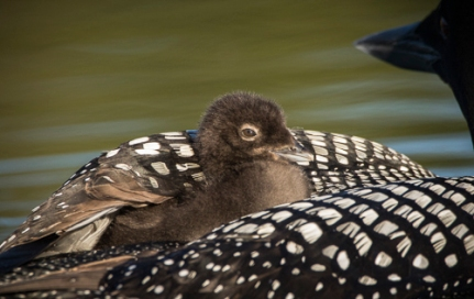Loon Chick on Mother's Back - DMHopp