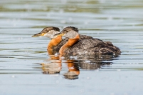 Scavenger Hunt Pairs-Reflection-Swimming - Red-Necked Grebes - DMHopp