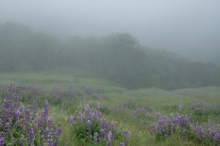 Lupins and Mist - Larry Citra