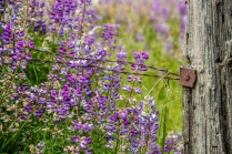 Lupin and barbed Wire - Larry Citra