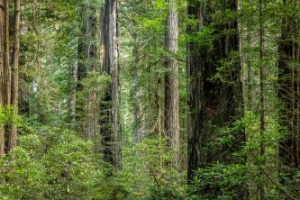 Redwood forest - Larry Citra