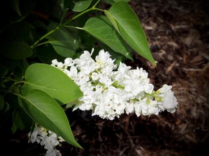 Scavenger 67 Close Up Macro Lilacs - Kevin Haggkvist