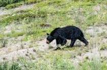 Big Bear at Big Bar-Derek Faiers