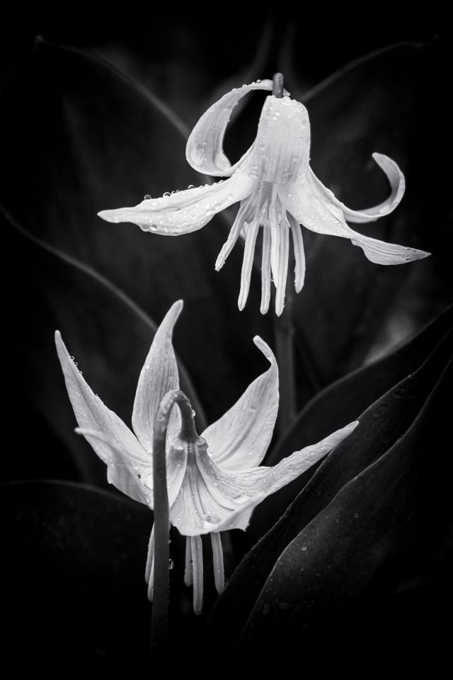 Glacier Lilies BW - Daryl Bell