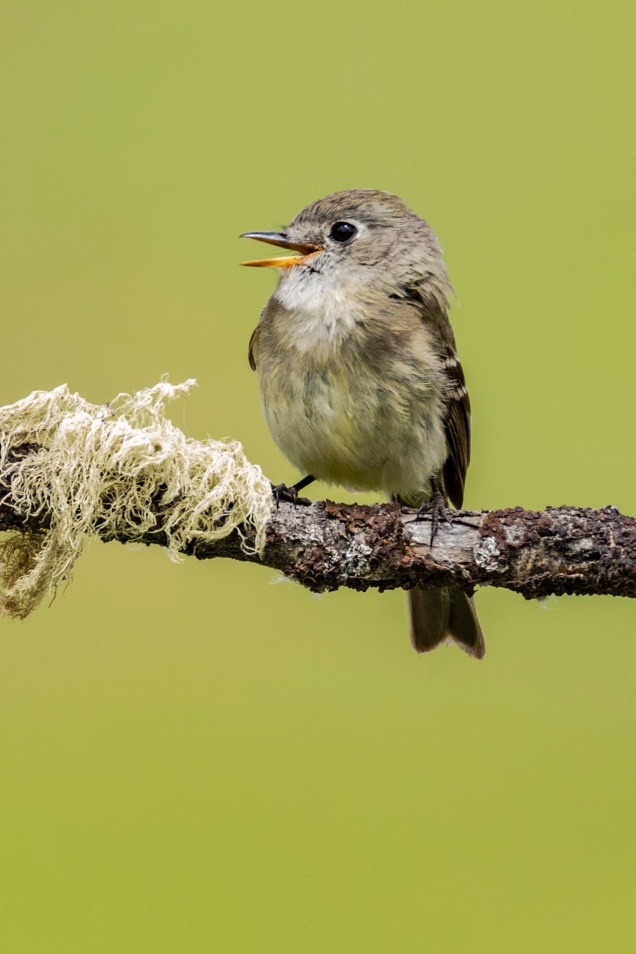July Photo Group - Dusky Flycatcher - June 2018-4084