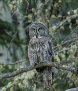 July Photo Group - Great Grey Owl - June 2018-5728