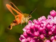 July Photo Group - Hummingbird Moth - June 2018-2093
