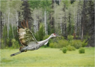 Sandhill Crane in Flight1 © Larry Citra