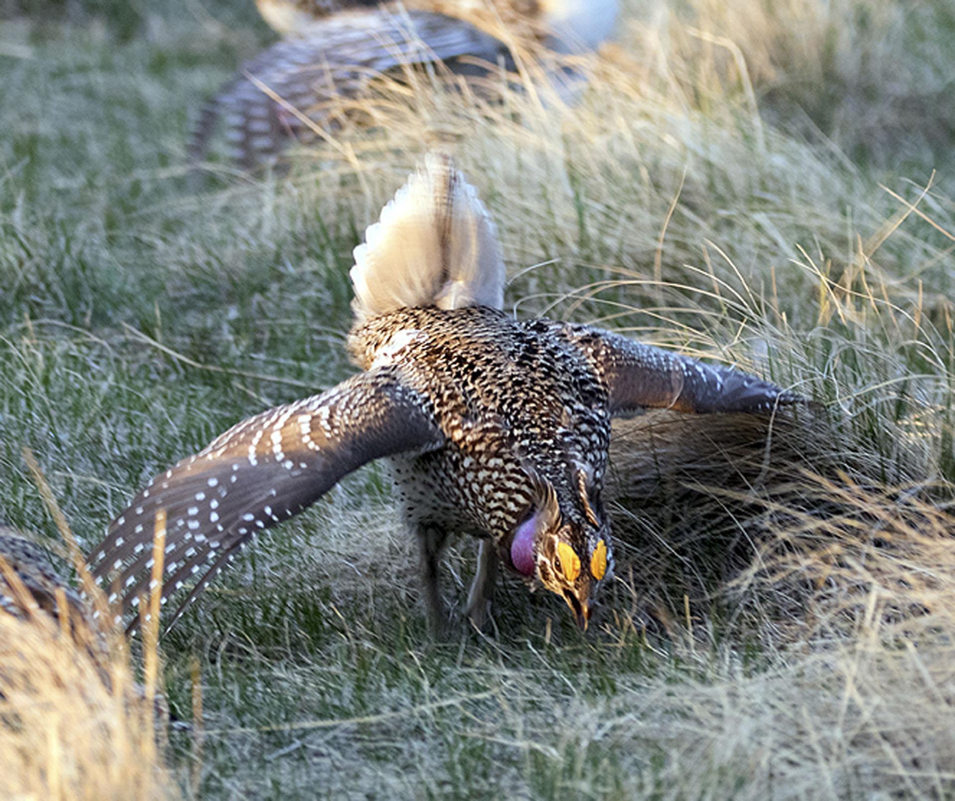 Sharp Tailed Grouse 2 - Doug Boyce
