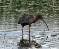White Faced Ibis - Doug Boyce