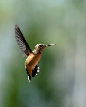 Hummingbird - Bill Melnychuk 7931