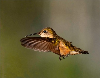 Hummingbird - Bill Melnychuk 7965