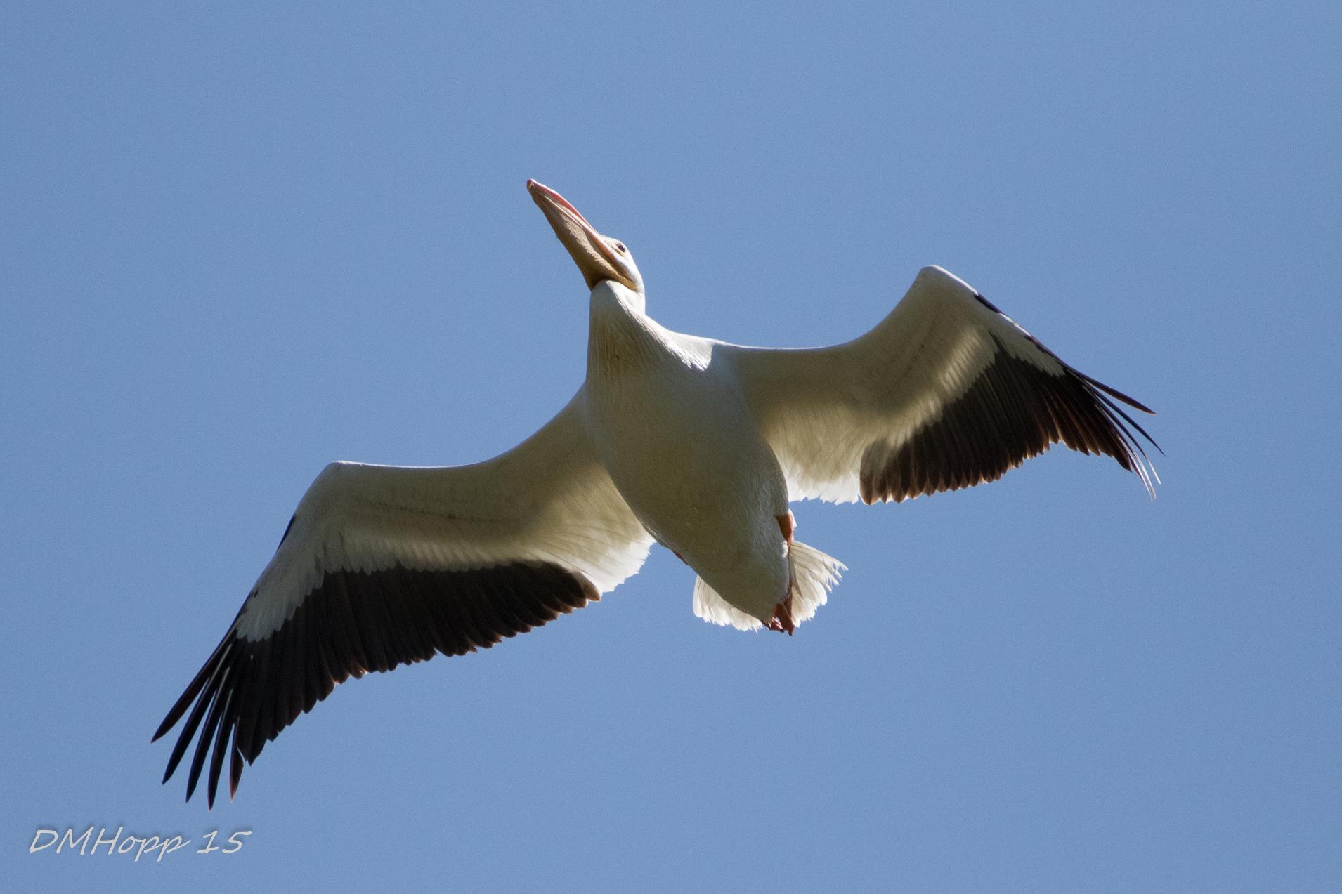 Flying Pelican - DMHopp