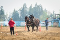 Heavy Horse-Log Pull - Interlakes - Sharon Jensen