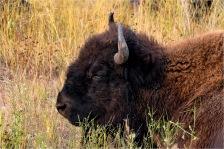 Bison, Yukon -William Melnychuk 8378-270