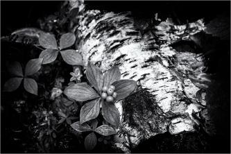 Dogwood and Fallen Birch - Daryl Bell