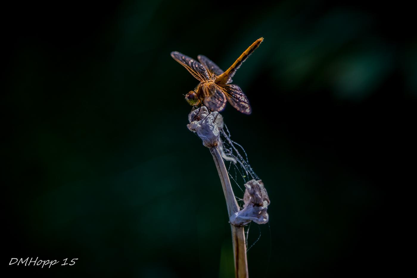 Dragonfly on Iris - DMHopp