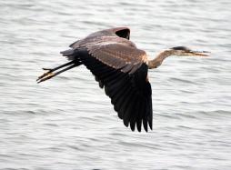 Great Blue Heron - Doug Boyce