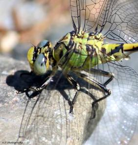 Macro dragonfly - Alamaz Durand